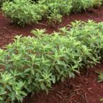Anbau der Stevia Pflanze